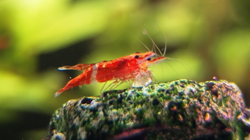 Are Amano Shrimps Aggressive