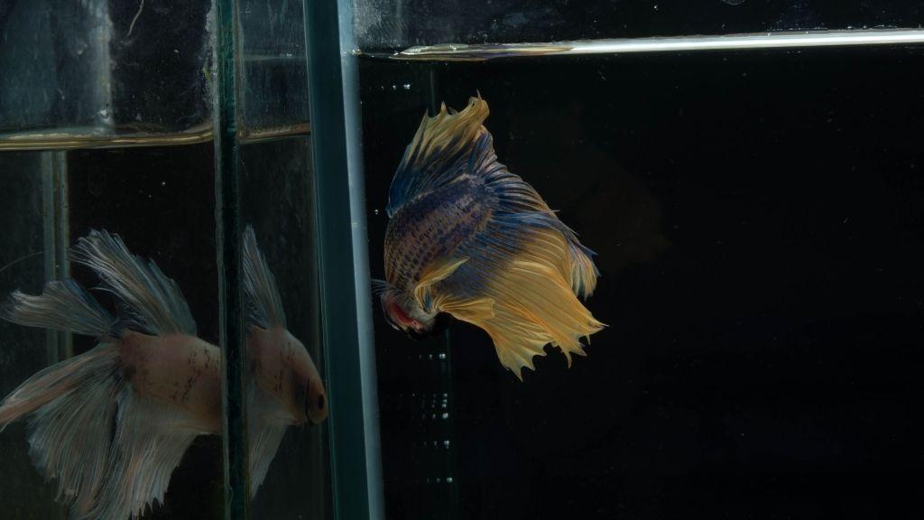 Do Betta Fish Like Mirrors