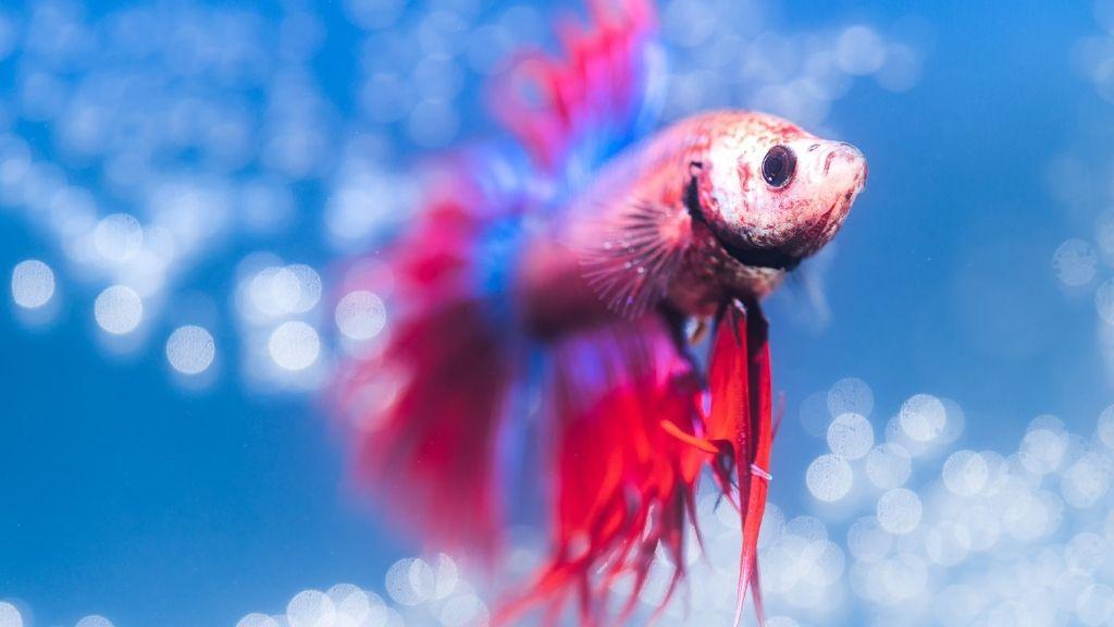 Do Betta Fish Need Light