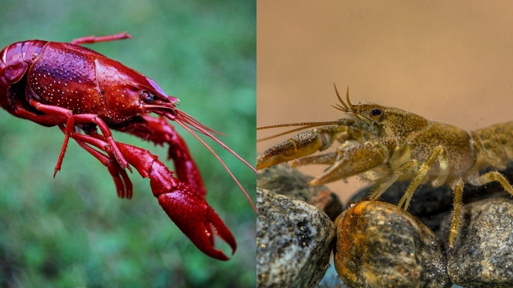 What Is The Difference Between Crayfish and Crawfish?