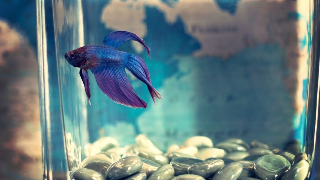 Why Is My Betta Jumping Out Of The Tank