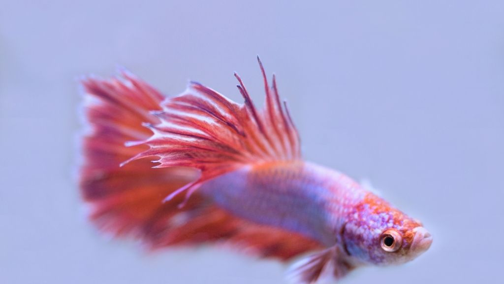 Betta Fin Rot treatment