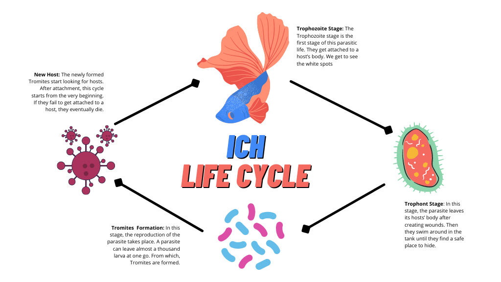 Betta Life Cycle Of Ich