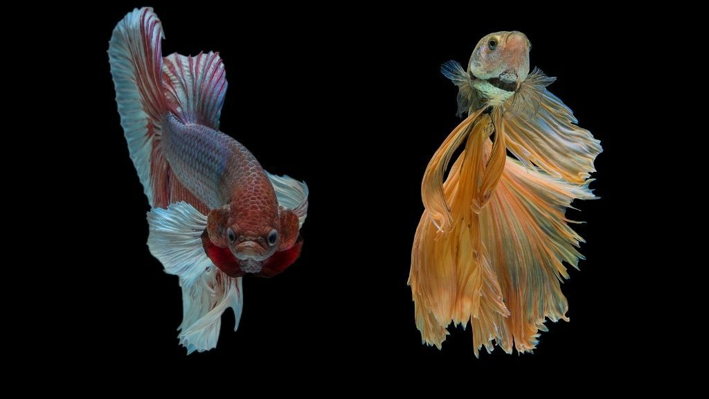 Can Bettas Recognize Their Owners