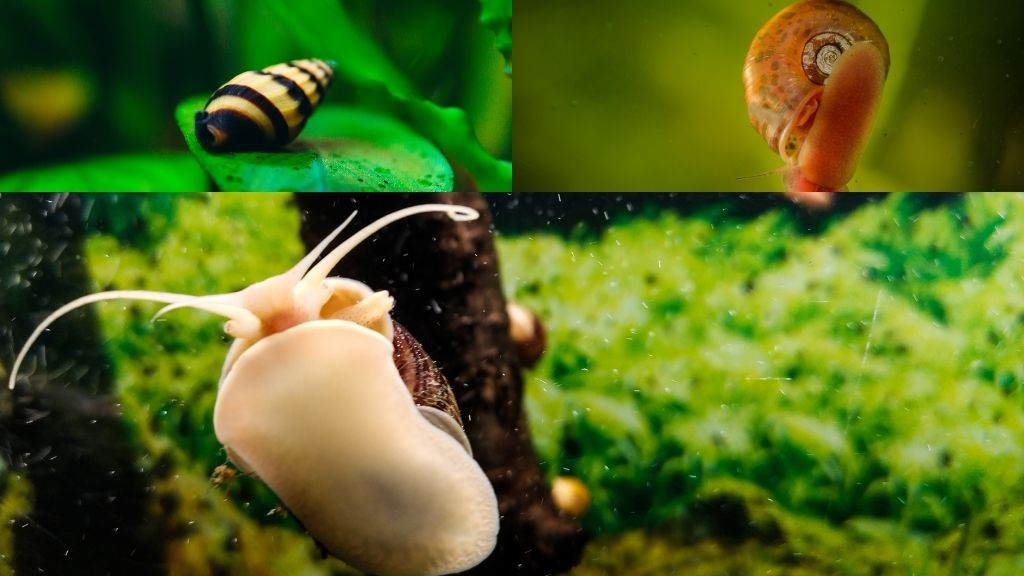 What Snails Can Live With Bettas