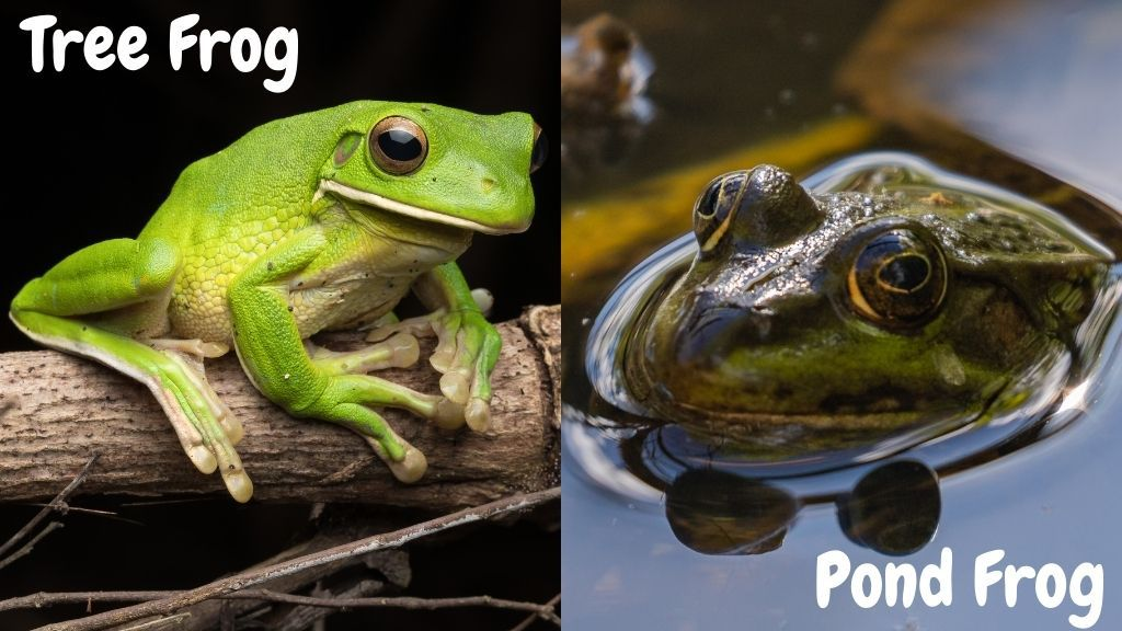 Can Tree Frogs Swim Like Pond frogs