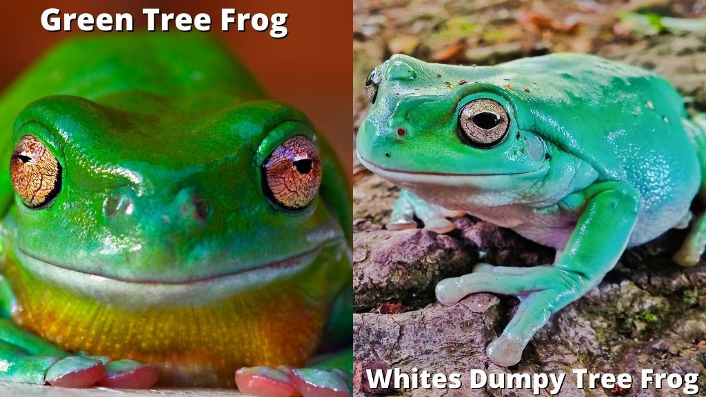 Green Tree Frog vs Whites Dumpy Tree Frog