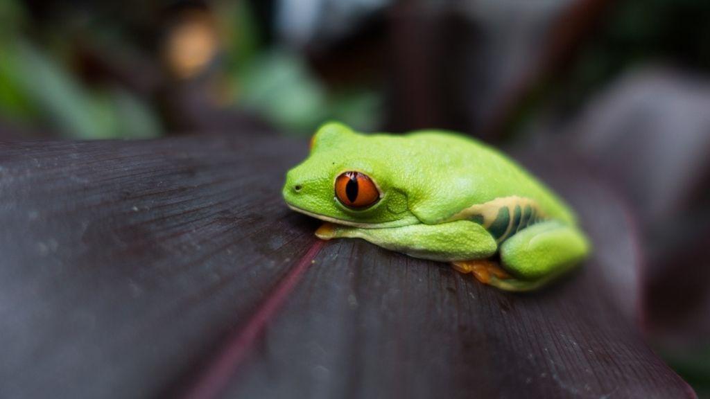 dart frog habitat