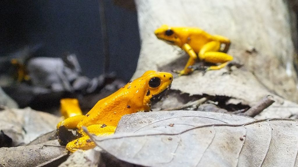 How Many Dart Frogs Can Live Together