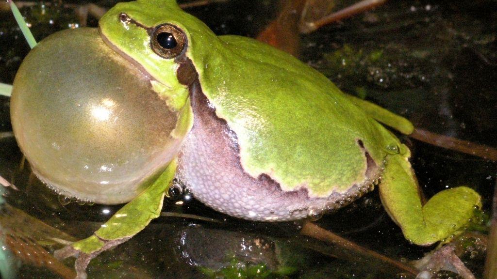 Tree Frogs Croaking