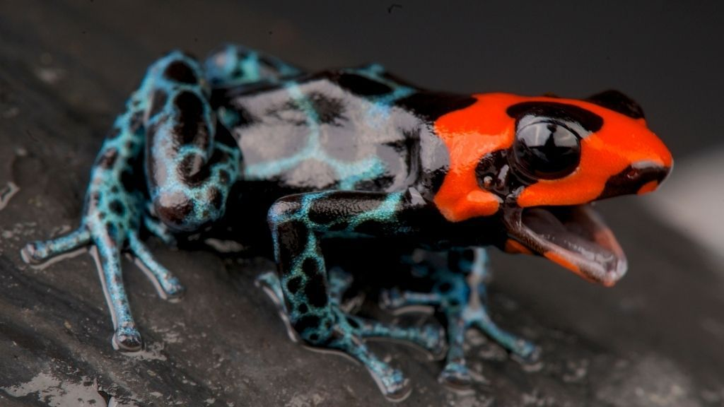 Why Is My Dart Frog Not Eating