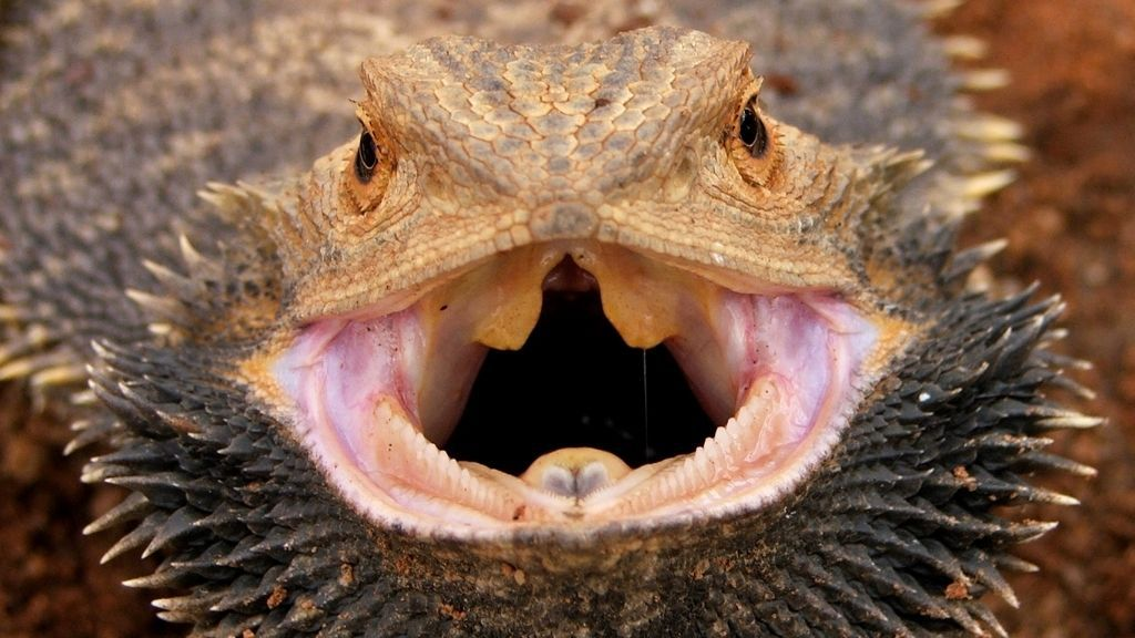 Are Bearded Dragons Poisonous