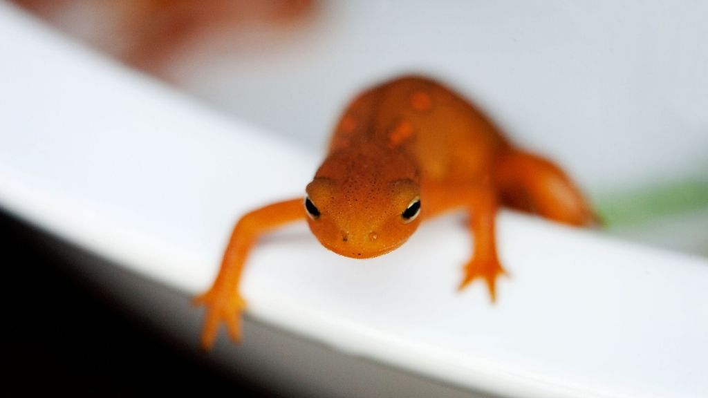 Can Newts And Fish Live Together