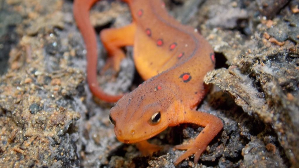 Can You Have A Newt As A Pet