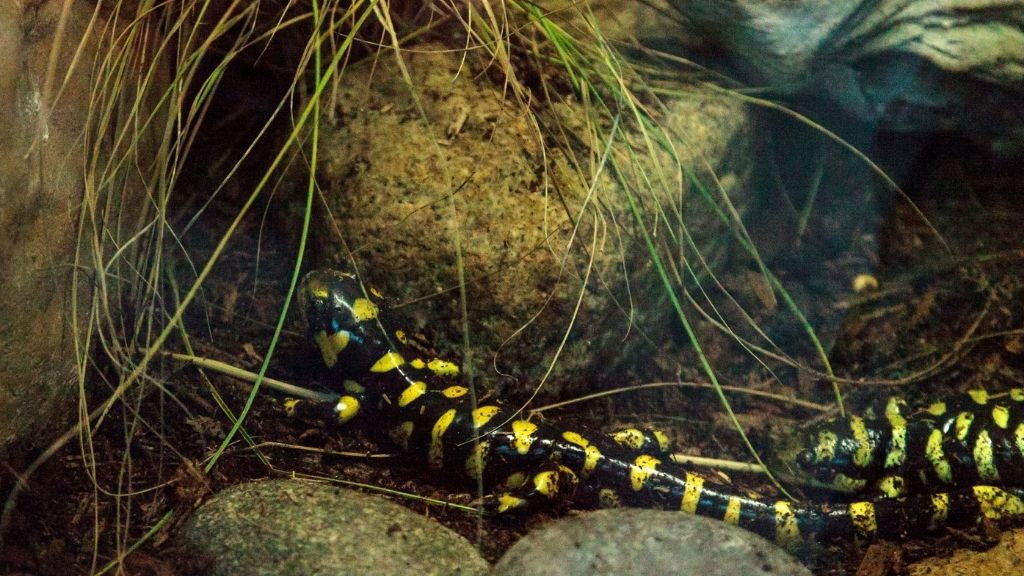 How Much Does A Pet Salamander Cost