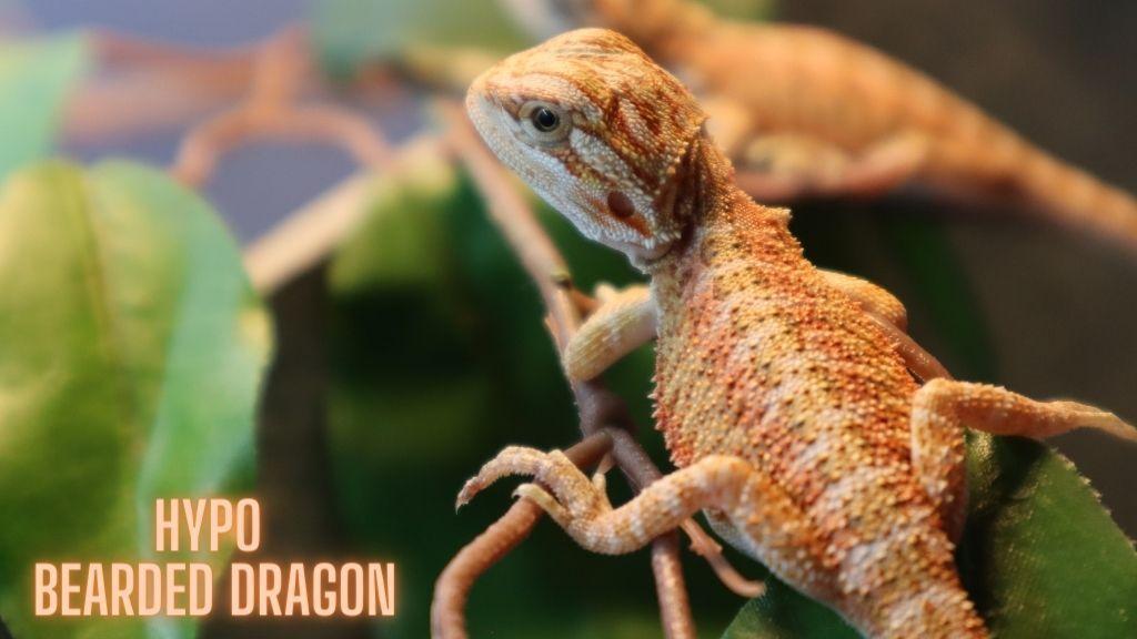 Hypo Bearded Dragon