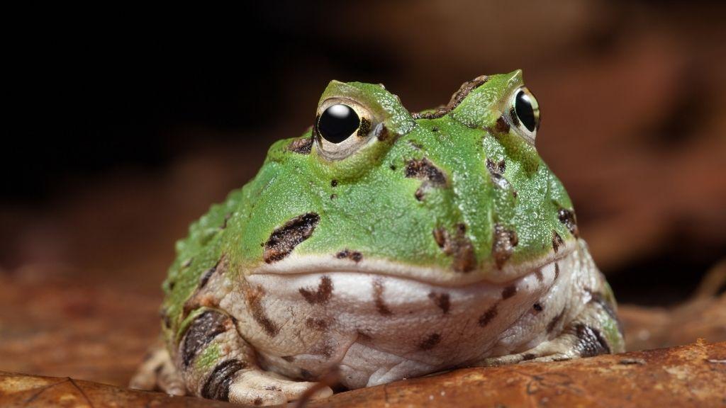 Pacman Frog Lifespan