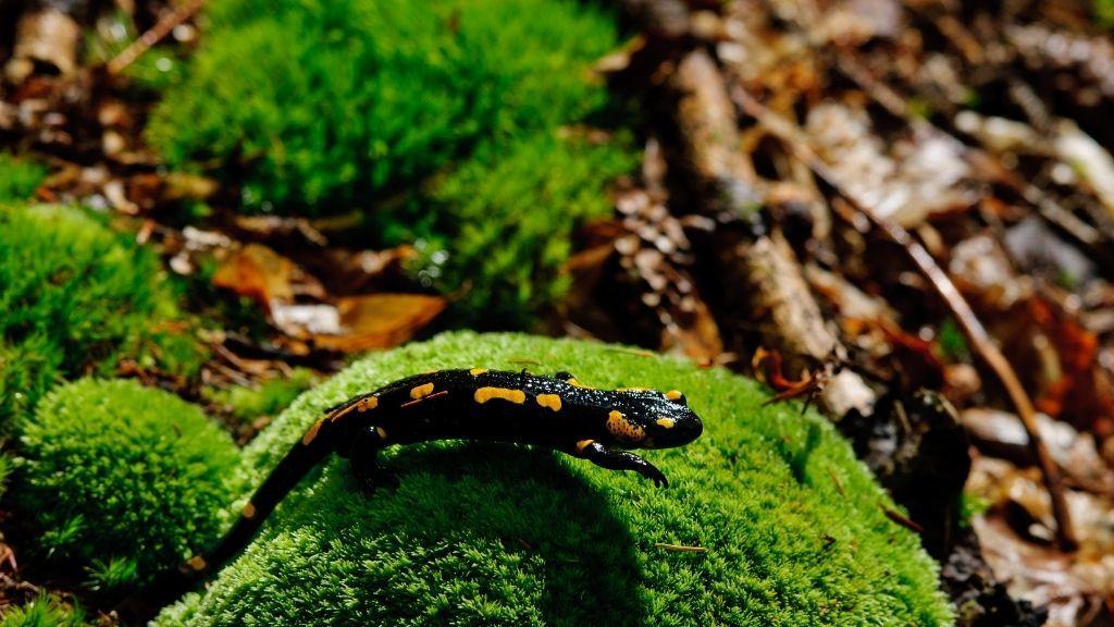 Pet Salamander Cost