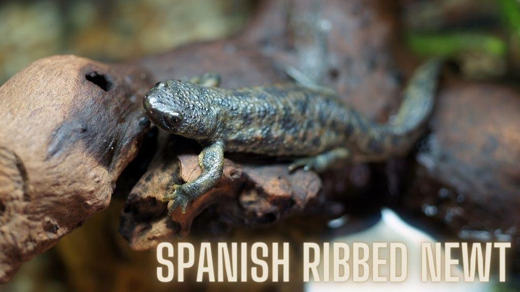 Spanish Ribbed Newt