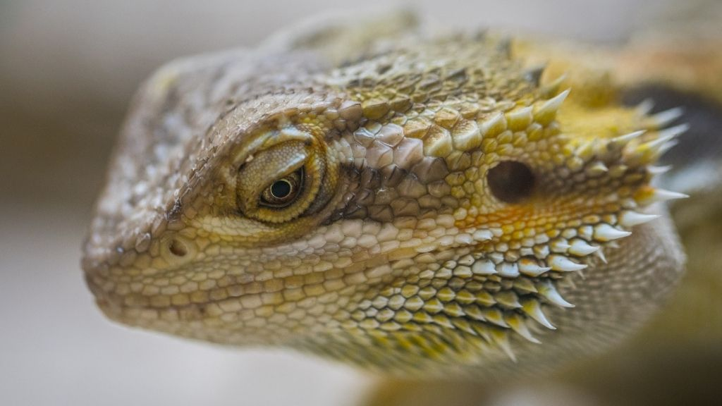 are bearded dragons friendly