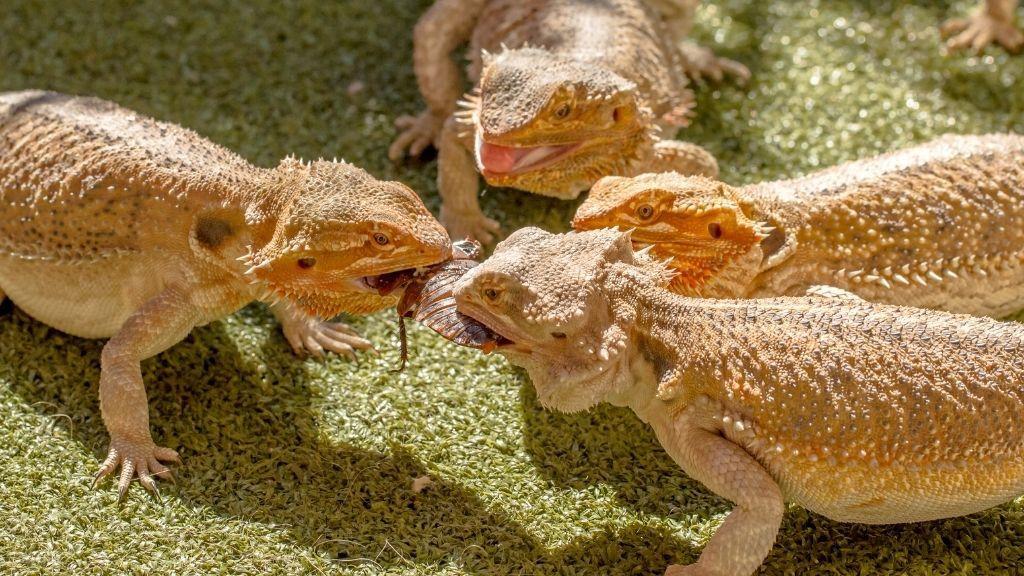 bearded dragon fight
