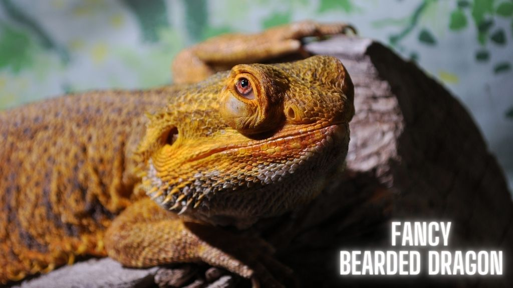 Bearded Dragon Selection Guide