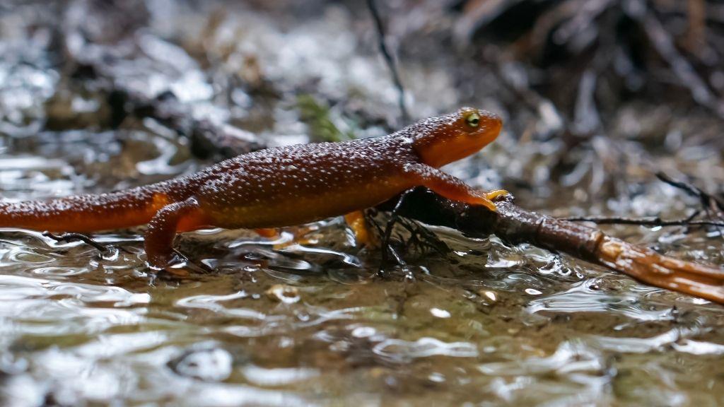 semi aquatic newt walking on water