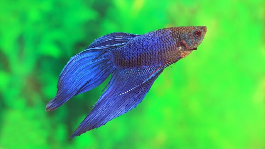 At what age do Bettas make bubble nests