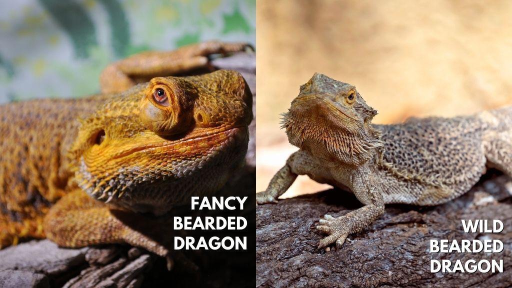 Bearded Dragon vs Fancy Bearded Dragon