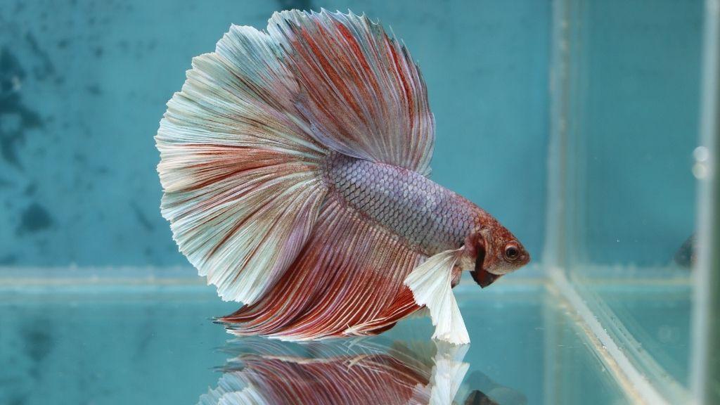 Can Betta Fish Hear