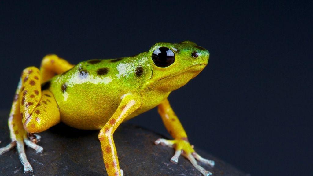 Dart Frog Lifespan