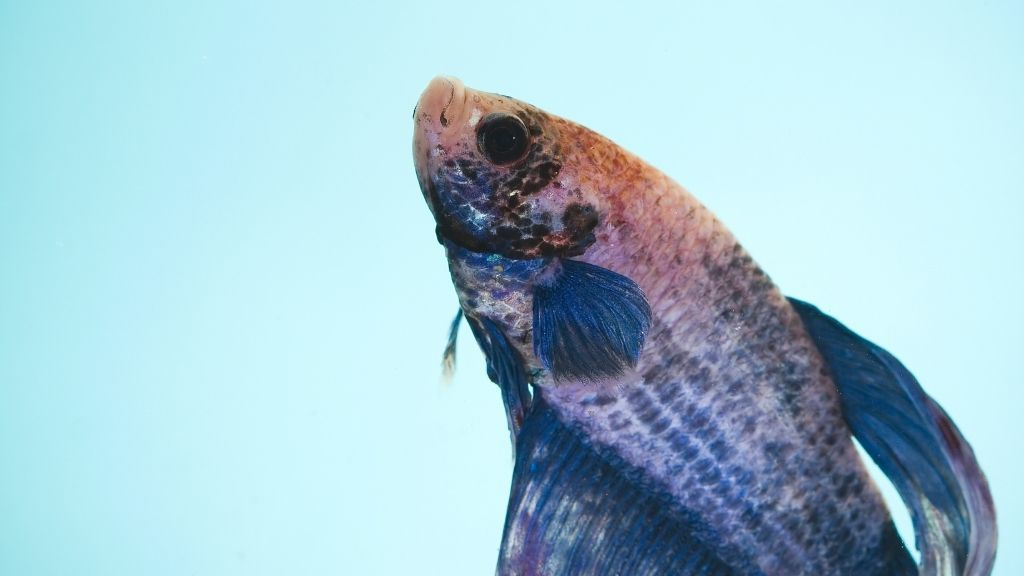 Most Common Betta Fish Signs Before They Die