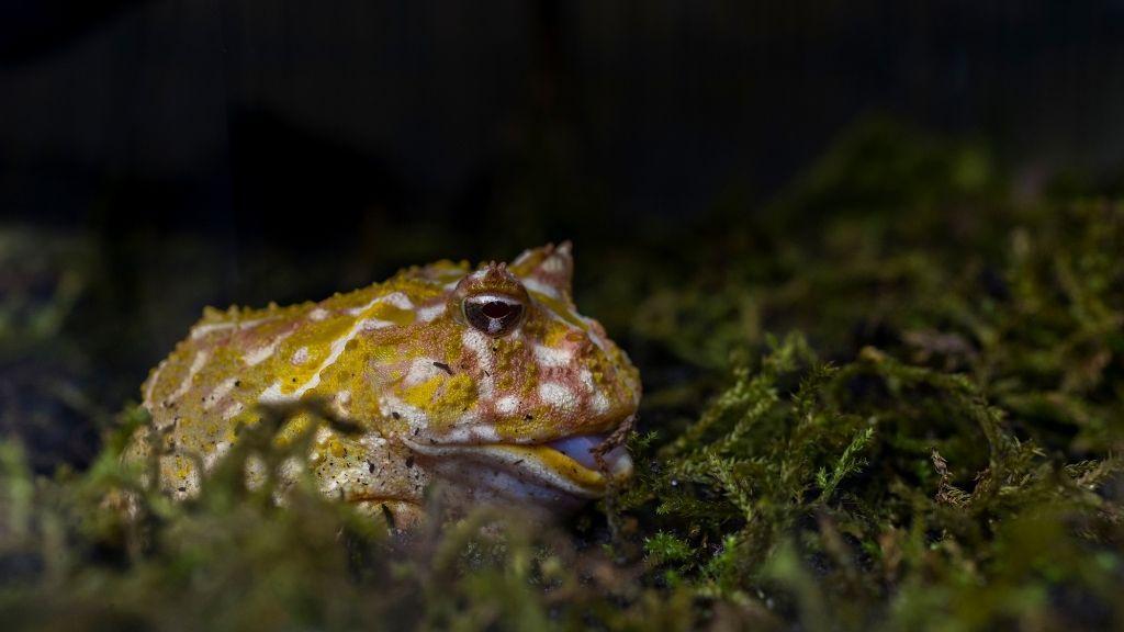 Pacman Frog Diet & Feeding Guide
