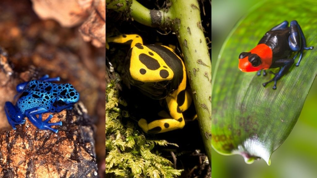colorful dart frogs