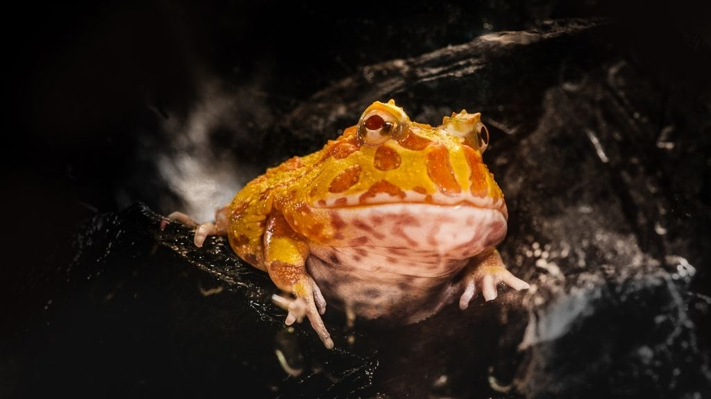Baby Pacman Frog care and feeding