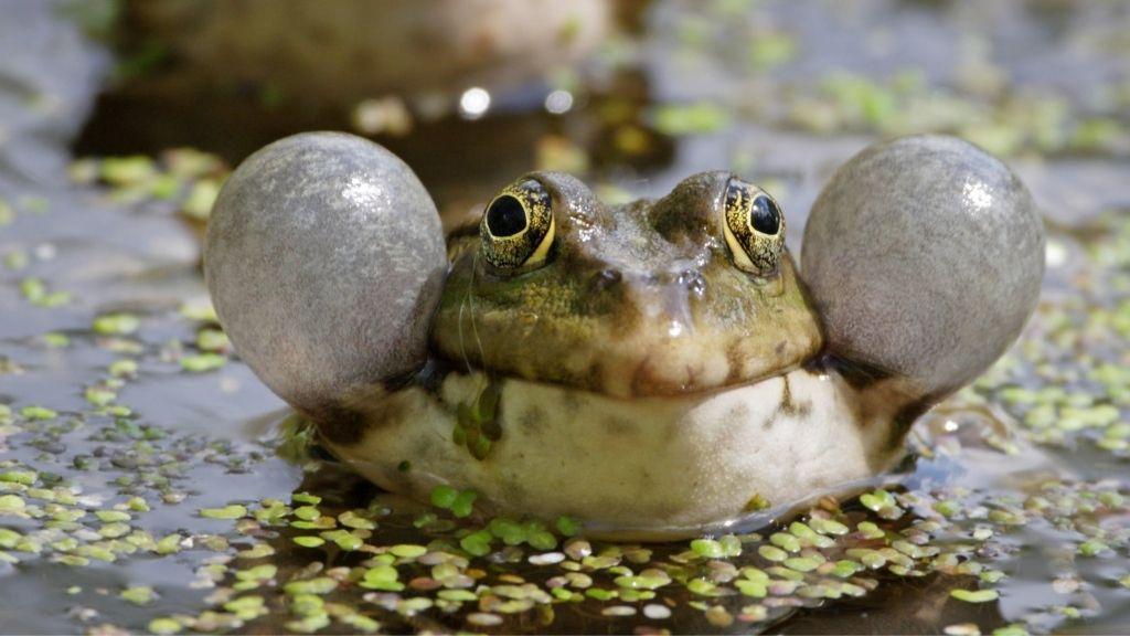 Pacman Frogs Croak