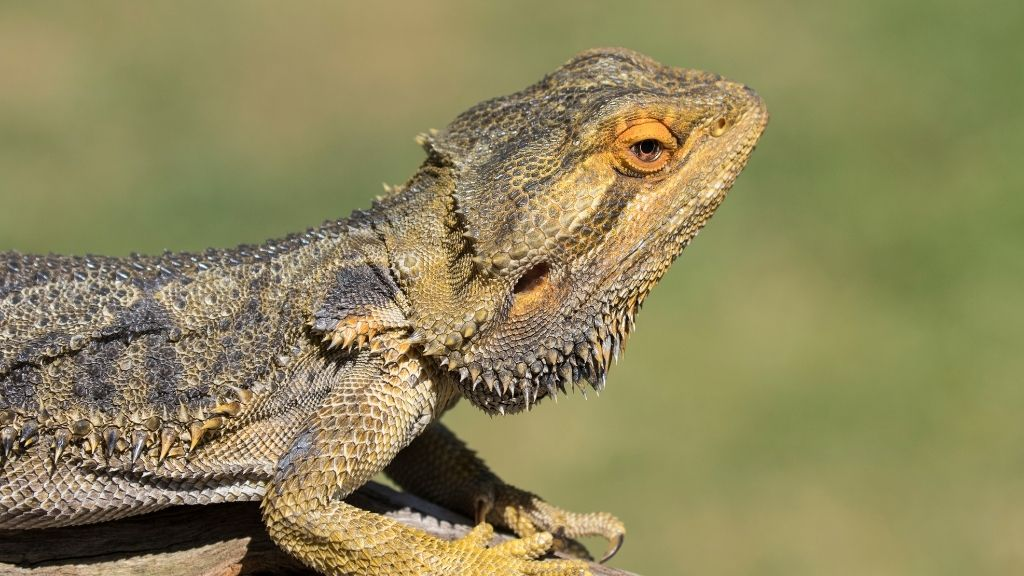 Cheapest Bearded Dragon
