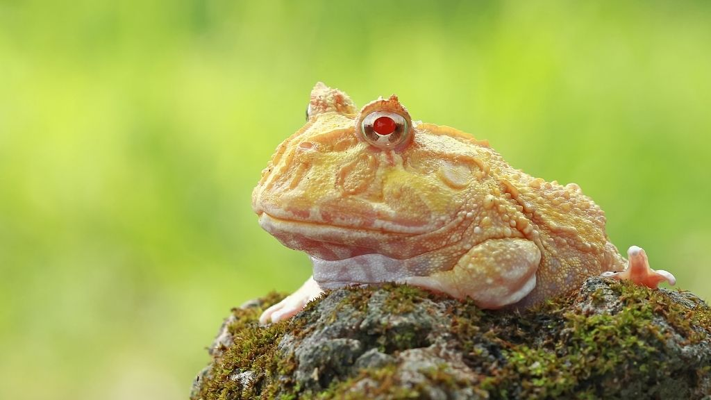 Do Albino Pacman Frogs Need UVB