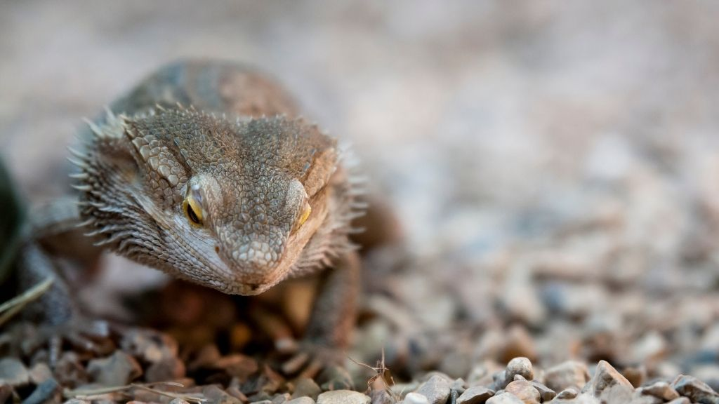Euthanizing Bearded Dragons