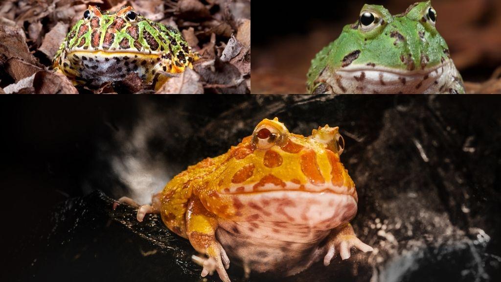Pacman Frog Morphs