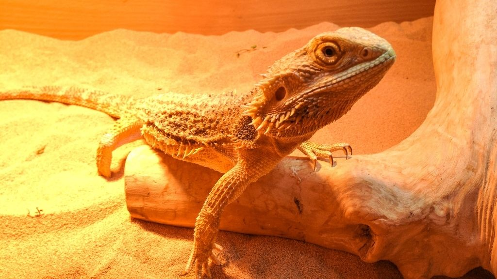 What Diseases Are Deadliest For Bearded Dragons