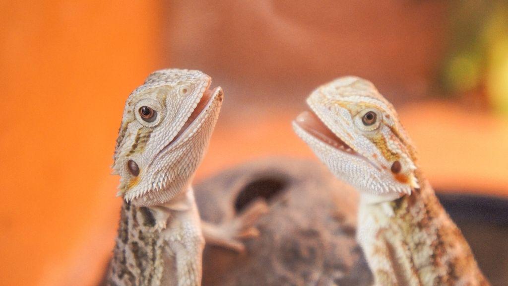 Will A Male Bearded Dragon Kill A Female