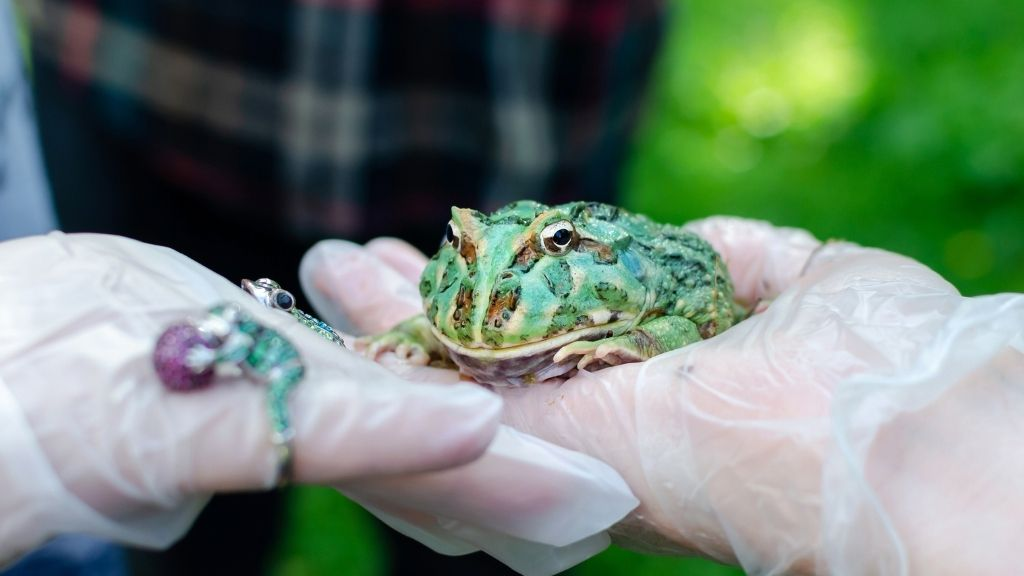 handling pacman frog