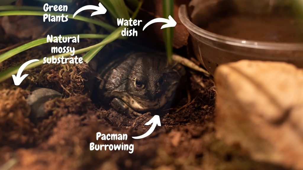 pacman frog habitat setup
