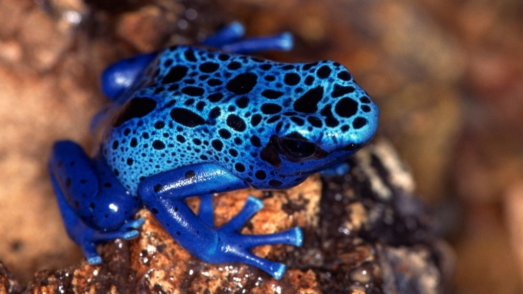 Are Blue Dart Frogs Good For Beginners