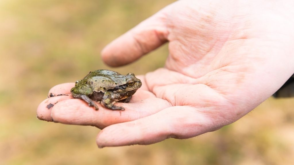 Handling Tree Frogs Do Tree Frogs Like To Be Held