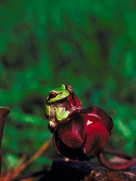 Pine Barrens Tree Frog
