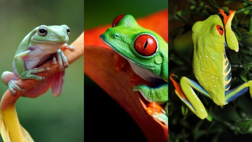 Tree Frog Identification