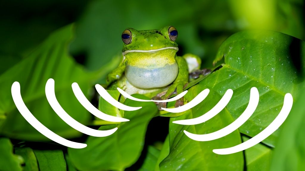 What Does A Tree Frog Sound Like