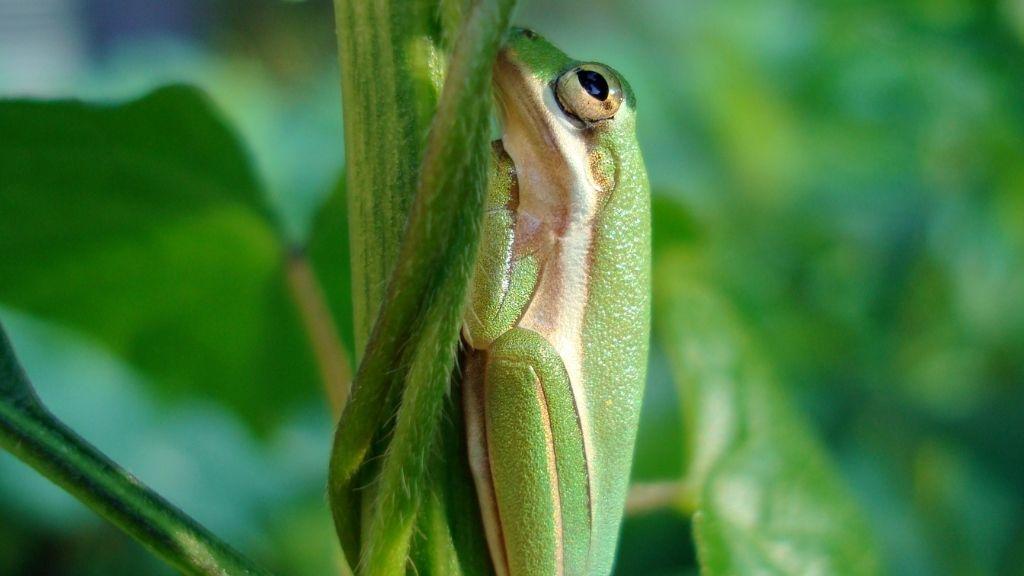 Do Tree Frogs Hibernate